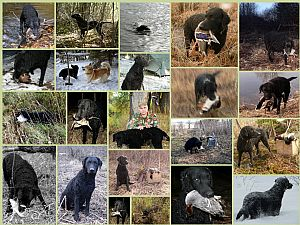 Curly-Coated Retriever Pictures 634