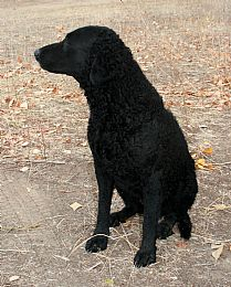 Curly-Coated Retriever Pictures 635