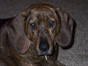 Plott Hound Pictures 674