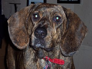 Plott Hound Pictures 675