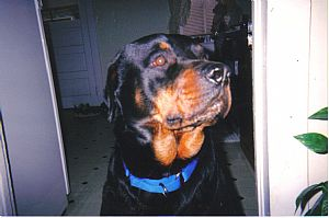 Rottweiler Pictures 706