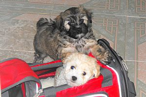 Havanese Pictures 716