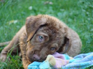 Chesapeake Bay Retriever Pictures 722