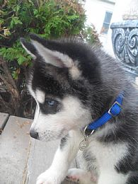 Siberian Husky Pictures 745