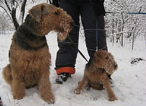 Airedale Terrier Pictures 764