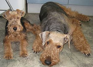 Airedale Terrier Pictures 765