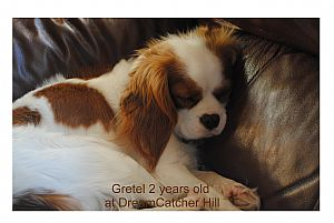 Cavalier King Charles Spaniel Pictures 766
