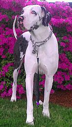 Great Dane Pictures 780