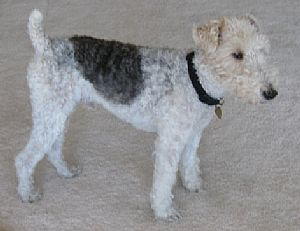 Fox Terrier - Wire Pictures 784