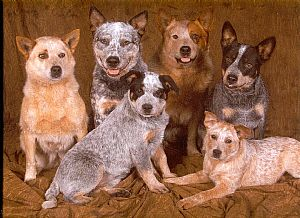 Australian Cattle Dog Pictures 815