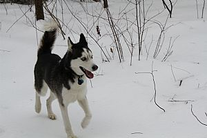Siberian Husky Pictures 827