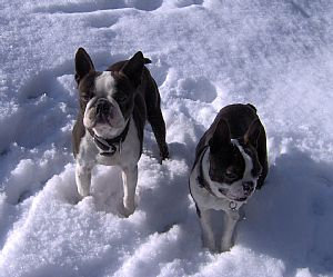 Boston Terrier Pictures 829