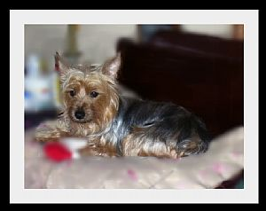 Silky Terrier Pictures 850