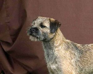 Border Terrier Pictures 879