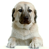 Anatolian Shepherd Dog Picture