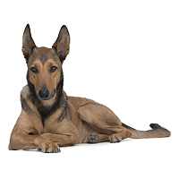 Belgian Malinois Picture