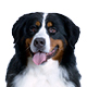 Bernese Mountain Dog Photo
