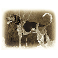 Bluetick Coonhound Picture