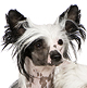 Chinese Crested Photo