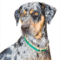 Catahoula Leopard Dog Picture