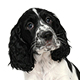 English Springer Spaniel Photo