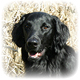 Flat-Coated Retriever Photo