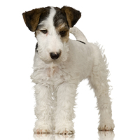 Fox Terrier - Wire Picture