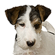 Fox Terrier - Wire Photo
