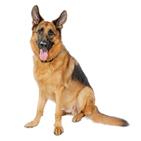German Shepherd Dog Picture