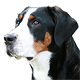 Greater Swiss Mountain Dog Photo