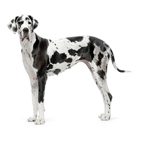 Great Dane Picture