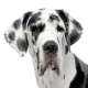 Great Dane Photo