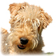 Lakeland Terrier Photo