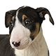 Miniature Bull Terrier Photo