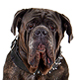 Neapolitan Mastiff Photo