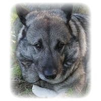 Norwegian Elkhound Picture