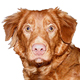 Nova Scotia Duck Tolling Retriever Photo