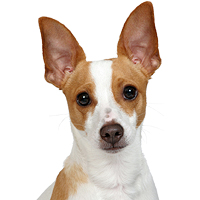 Rat Terrier Picture