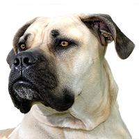 South African Boerboel Picture