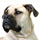 South African Boerboel Photo