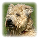 Soft Coated Wheaten Terrier Photo