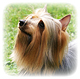 Silky Terrier Photo