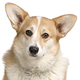 Cardigan Welsh Corgi Photo