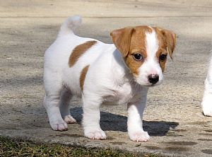 Foxfield Jack Russell Terriers White Parson Russell Terrier