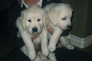 Desdia Golden Retrievers