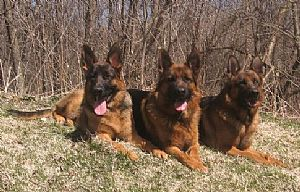 Von Der Stadtrand German Shepherd Breeder Wisconsin