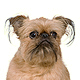 Brussels Griffon Photo