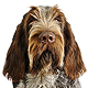 Spinone Italiano Photo