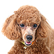 Toy Poodle Photo