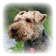 Welsh Terrier Photo
